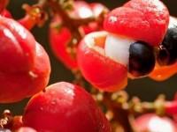 guarana-fruto