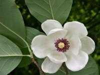 magnolia-branca