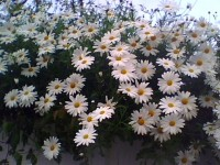 malmequer-jardim