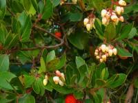 medronheiro-fruto